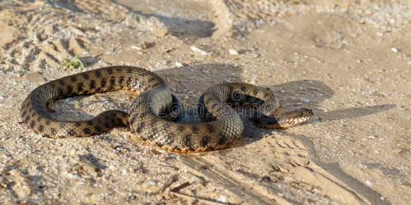 Φίδι που σέρνεται στην άμμο στη στέπα κοντά στον ποταμό του Βόλγα στις ακτίνες του ήλιου ρύθμισης στοκ φωτογραφίες με δικαίωμα ελεύθερης χρήσης