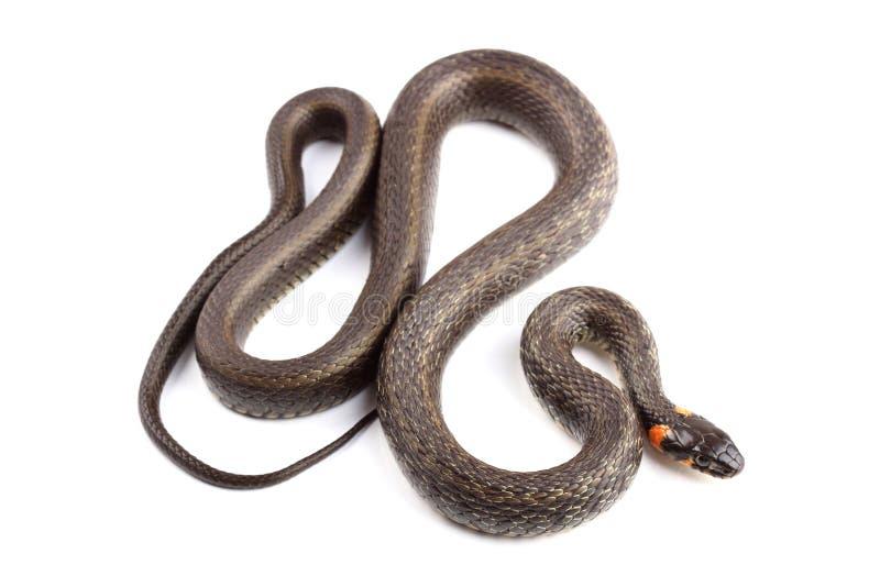 Φίδι χλόης (Natrix natrix) που απομονώνεται στο λευκό στοκ φωτογραφίες με δικαίωμα ελεύθερης χρήσης