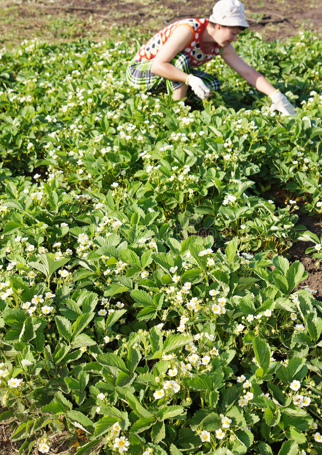 φαίνεται γυναίκα φραουλών φυτειών στοκ φωτογραφίες με δικαίωμα ελεύθερης χρήσης