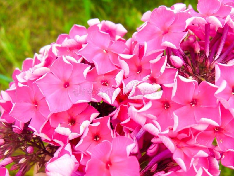 Φαίνεται ότι αυτοί απλοί, αλλά τέτοια χαριτωμένα λουλούδια αυξήθηκαν πάντα στους κήπους μας στοκ εικόνες