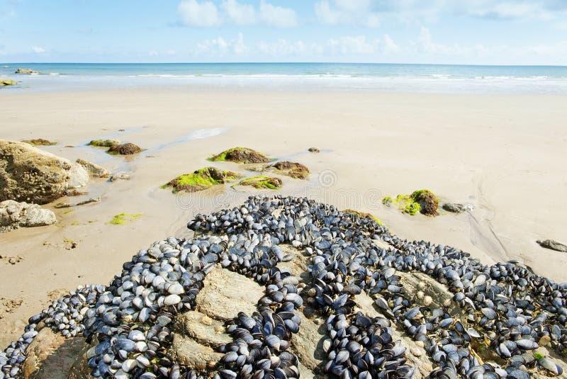 φαγώσιμοι βράχοι μυδιών στοκ φωτογραφία με δικαίωμα ελεύθερης χρήσης