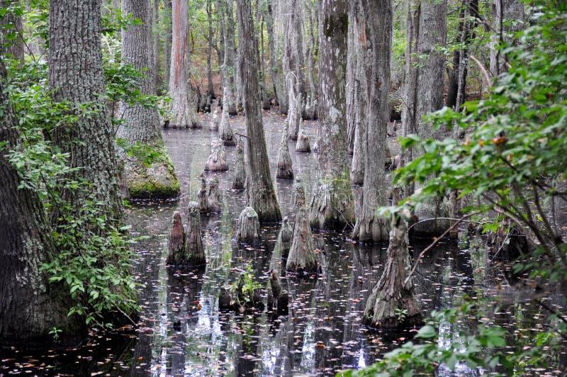 Φαλακρά δέντρα κυπαρισσιών, πρώτο προσγειωμένος κρατικό πάρκο, παραλία της Βιρτζίνια, VA στοκ εικόνες