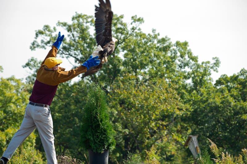 Φαλακρή απελευθέρωση αετών στο κέντρο φύσης στοκ εικόνα με δικαίωμα ελεύθερης χρήσης