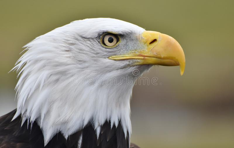 Φαλακρή επικεφαλής κινηματογράφηση σε πρώτο πλάνο αετών στοκ φωτογραφία