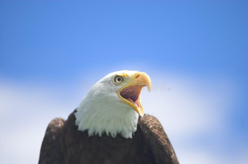 φαλακρή κραυγή αετών στοκ φωτογραφίες
