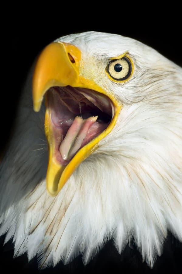 φαλακρή κραυγή αετών στοκ φωτογραφία