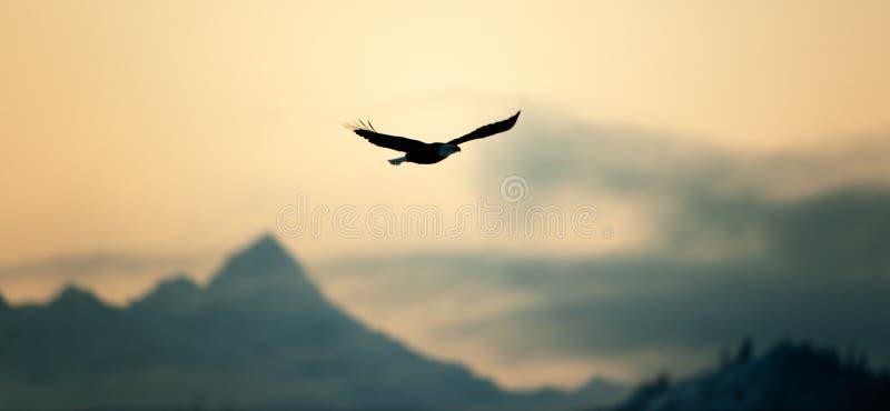 φαλακρή πτήση αετών της Αλά&sig στοκ φωτογραφία με δικαίωμα ελεύθερης χρήσης