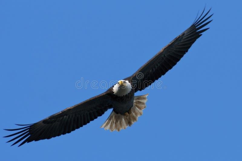 φαλακρή πτήση αετών στοκ φωτογραφία με δικαίωμα ελεύθερης χρήσης