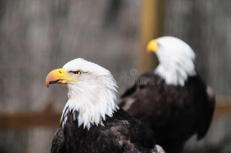 φαλακροί αετοί στοκ φωτογραφία με δικαίωμα ελεύθερης χρήσης