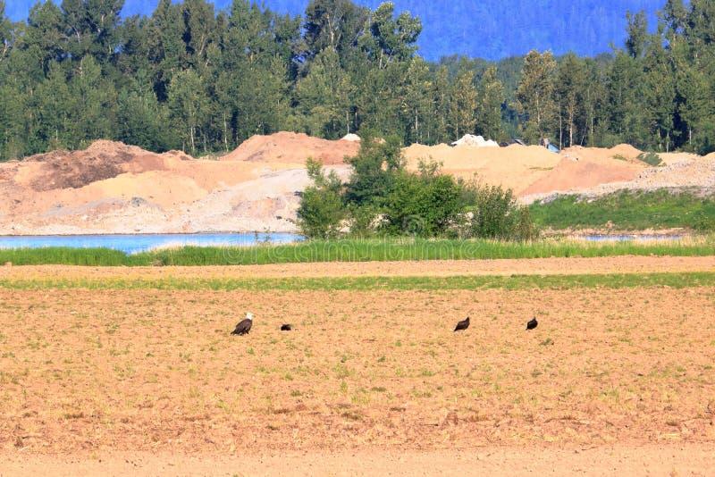 Φαλακροί γύπες αετών και της Τουρκίας στοκ εικόνες