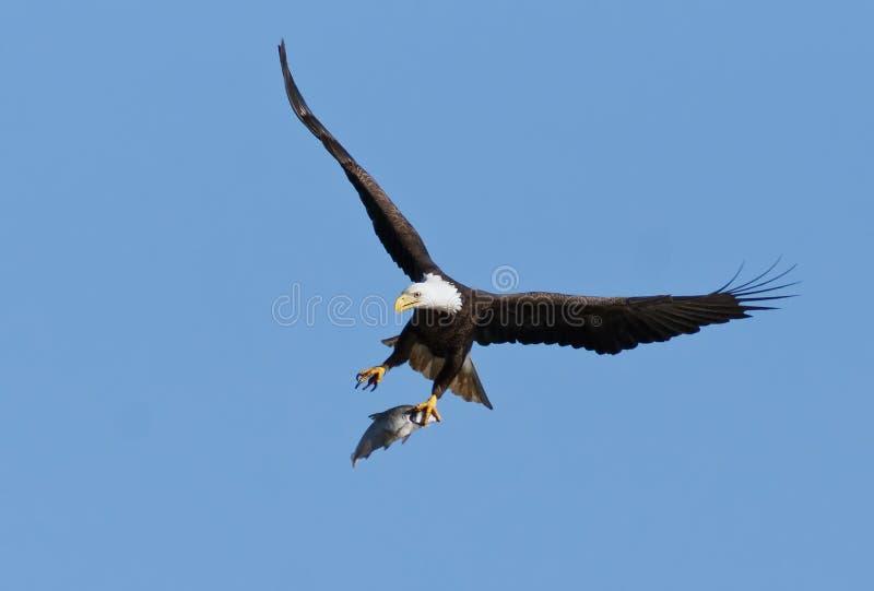 Φαλακρός αετός με τα πιασμένα ψάρια στοκ εικόνα με δικαίωμα ελεύθερης χρήσης