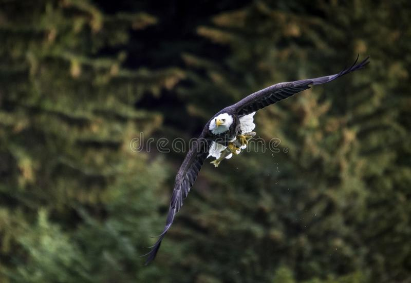 Φαλακρός αετός με τα ψάρια στην Αλάσκα στοκ φωτογραφία με δικαίωμα ελεύθερης χρήσης