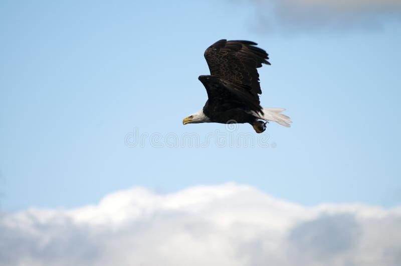 Φαλακρός αετός με τα ψάρια στοκ φωτογραφία με δικαίωμα ελεύθερης χρήσης