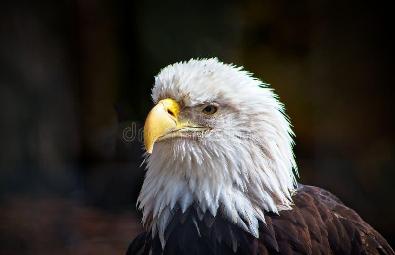 Φαλακρός αετός, πάντα προσεκτικός, έντονα, που στέκεται υπερήφανος στοκ φωτογραφίες