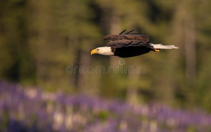 Φαλακρός αετός που αλιεύει στο Μαίην στοκ εικόνες