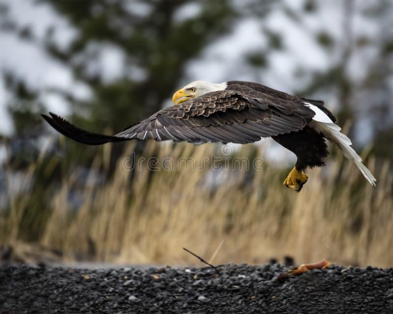 Φαλακρός αετός που πετά χαμηλά στοκ εικόνα με δικαίωμα ελεύθερης χρήσης