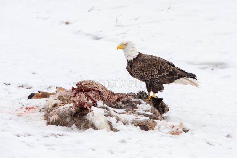 Φαλακρός αετός σε ένα σφάγιο ελαφιών το χειμώνα στοκ εικόνα με δικαίωμα ελεύθερης χρήσης