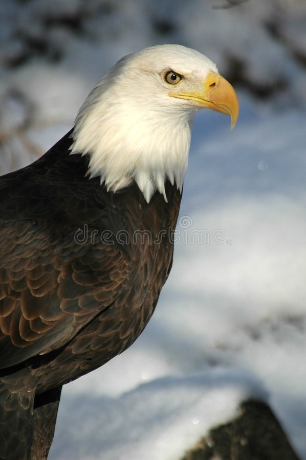 φαλακρός αετός 2 στοκ φωτογραφία με δικαίωμα ελεύθερης χρήσης