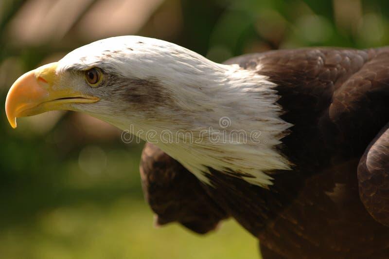 Download φαλακρός αετός στοκ εικόνα. εικόνα από κεφάλι, brawn, κοιτάξτε - 2228665