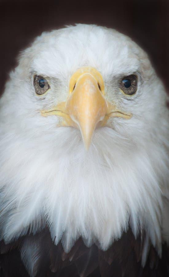 Download φαλακρός αετός στοκ εικόνες. εικόνα από closeup, πλάνο - 22796470