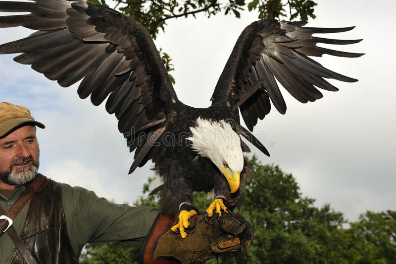 φαλακρός αετός falconer στοκ φωτογραφίες