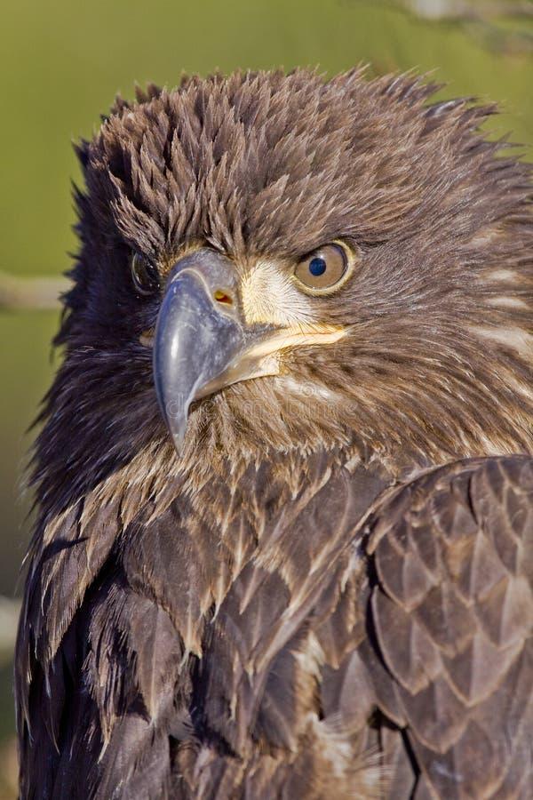 φαλακρός νεαρός αετών στοκ φωτογραφία