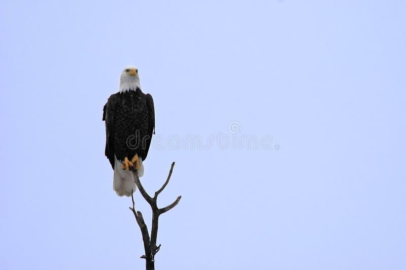 φαλακρός υψηλός αετών σκ&al στοκ φωτογραφίες