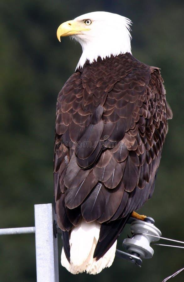 φαλακρό καλώδιο αετών πο&up στοκ εικόνα