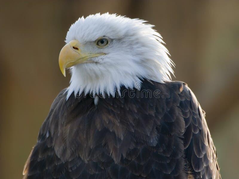 φαλακρό πορτρέτο αετών στοκ εικόνες