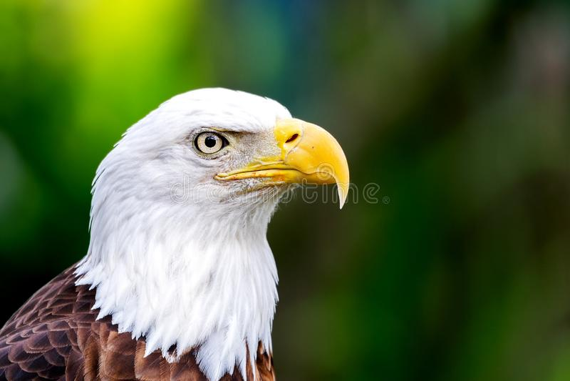 Φαλακρό πορτρέτο leucocephalus Haliaeetus αετών στοκ φωτογραφίες