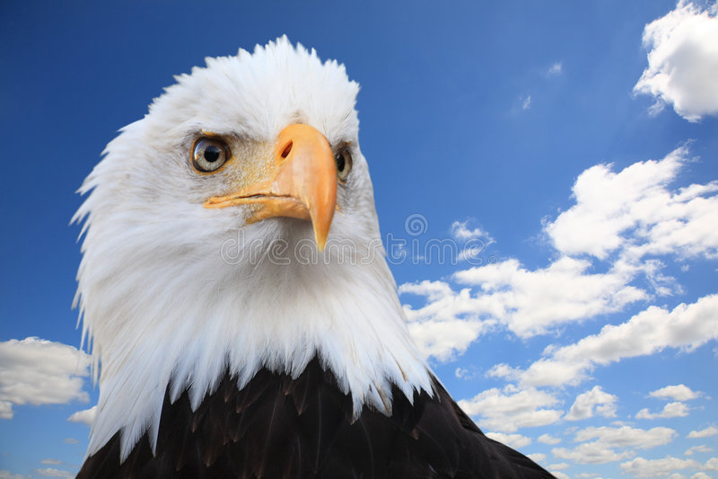 φαλακρό leucocephalus haliaeetus αετών στοκ εικόνα με δικαίωμα ελεύθερης χρήσης