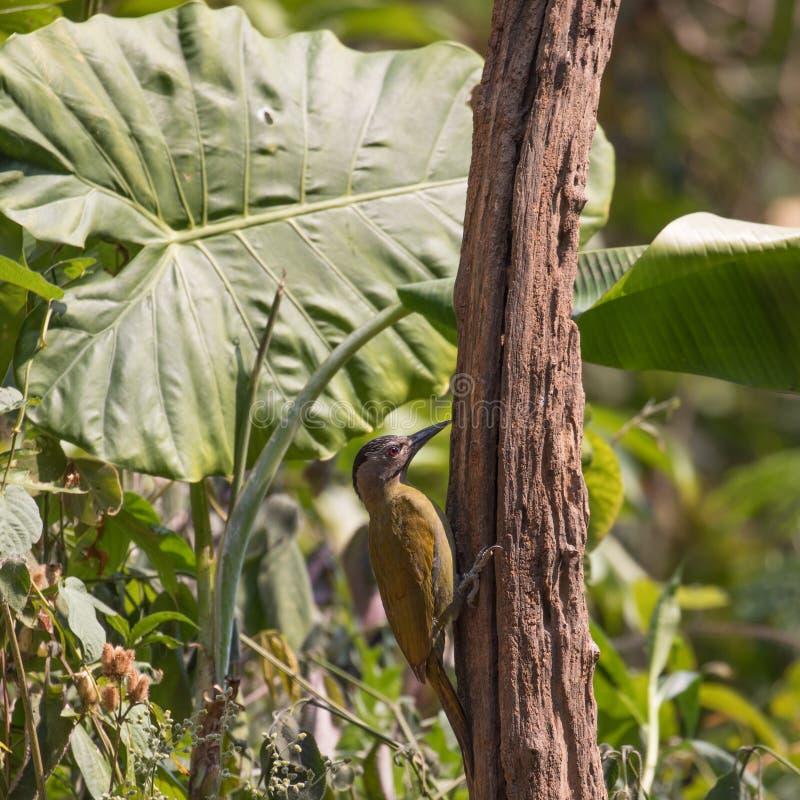 Φανταστικό κτήνος και πού να αυτοί βρεθούν - canus Picus στοκ εικόνα