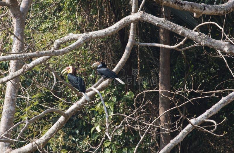 Φανταστικό κτήνος και πού να αυτοί βρεθούν - undulatus Rhyticeros/hornbill στοκ εικόνες