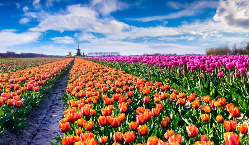 Φανταστικό τοπίο άνοιξη με τους τομείς των ανθίζοντας λουλουδιών τουλιπών στοκ φωτογραφία