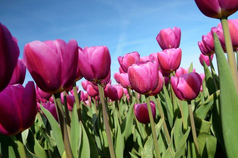 Φανταστικό τοπίο με τις ζωηρόχρωμες τουλίπες λουλουδιών ενάντια στον ουρανό στοκ φωτογραφίες με δικαίωμα ελεύθερης χρήσης