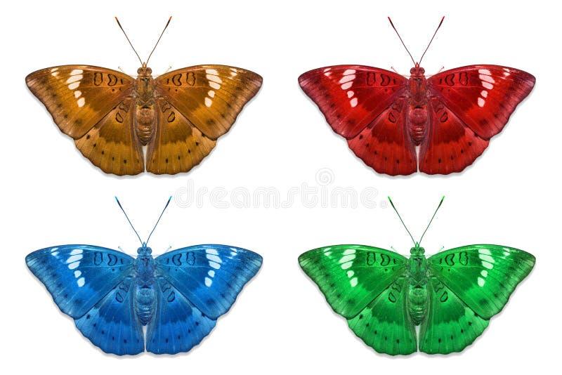 Φανταχτερές πεταλούδες βαρώνων μάγκο χρώματος στοκ φωτογραφίες με δικαίωμα ελεύθερης χρήσης