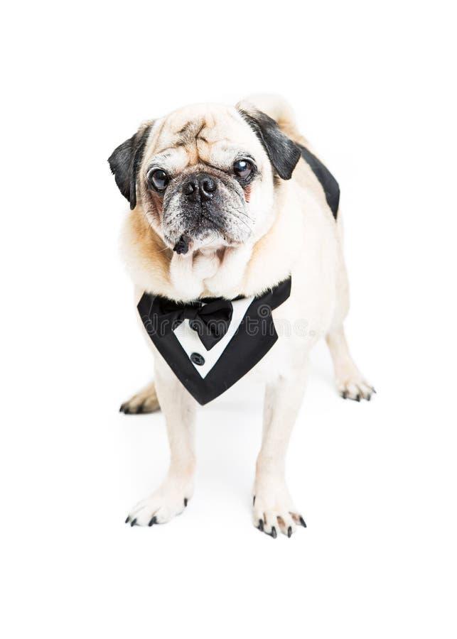 Φανταχτερό σκυλί μαλαγμένου πηλού στη φανέλλα σμόκιν στοκ φωτογραφία