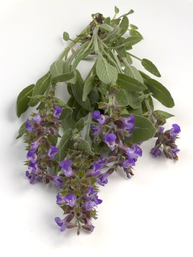 φασκομηλιά λουλουδιών στοκ φωτογραφίες με δικαίωμα ελεύθερης χρήσης