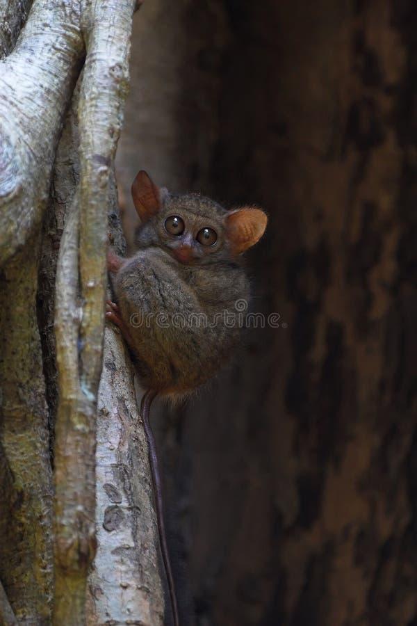 φασματικός πιό tarsier στοκ εικόνες