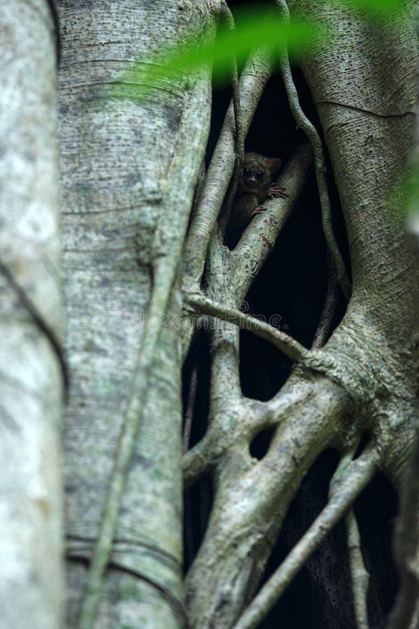 Φασματικό Tarsier, φάσμα Tarsius, πορτρέτο των σπάνιων ενδημικών νυκτερινών θηλαστικών, μικρός χαριτωμένος αρχιεπίσκοπος στο μεγά στοκ εικόνες