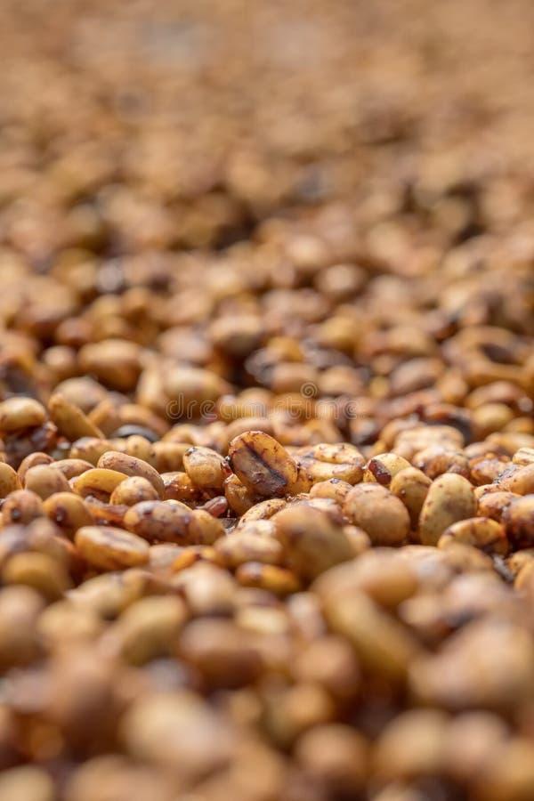 Φασόλια καφέ που ξεραίνουν στον ήλιο στοκ εικόνα