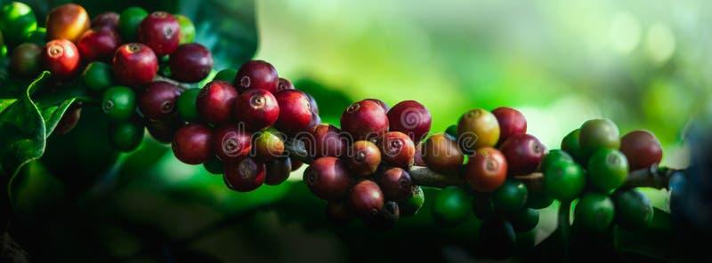 Φασόλια καφέ στο δέντρο στο βουνό στο αγρόκτημα στοκ εικόνες
