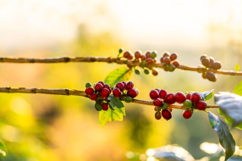 Φασόλια καφέ στο δέντρο στο βουνό στοκ εικόνες με δικαίωμα ελεύθερης χρήσης