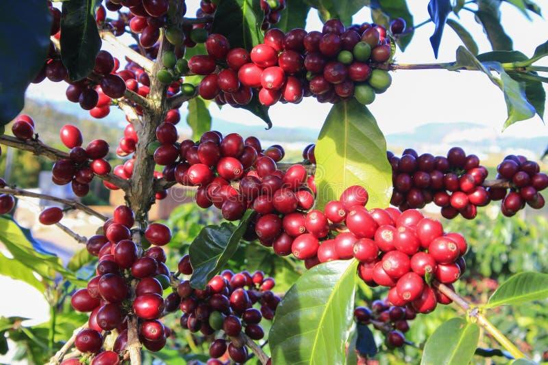 Φασόλι καφέ στο δέντρο καφέ στοκ εικόνες με δικαίωμα ελεύθερης χρήσης
