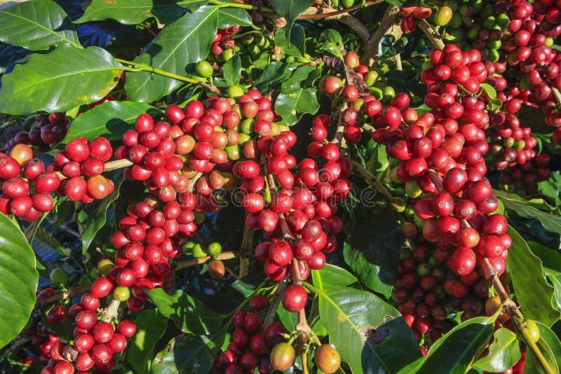 Φασόλι καφέ στο δέντρο καφέ στοκ φωτογραφίες με δικαίωμα ελεύθερης χρήσης