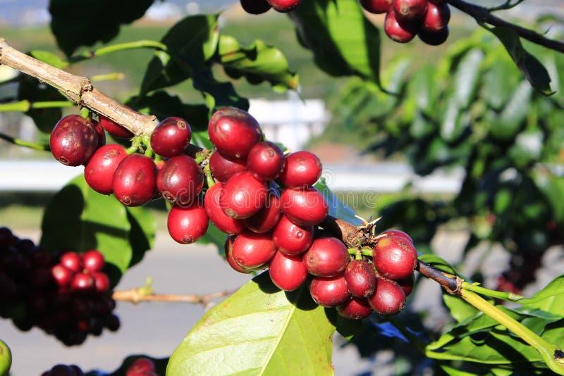 Φασόλι καφέ στο δέντρο καφέ στοκ φωτογραφία με δικαίωμα ελεύθερης χρήσης