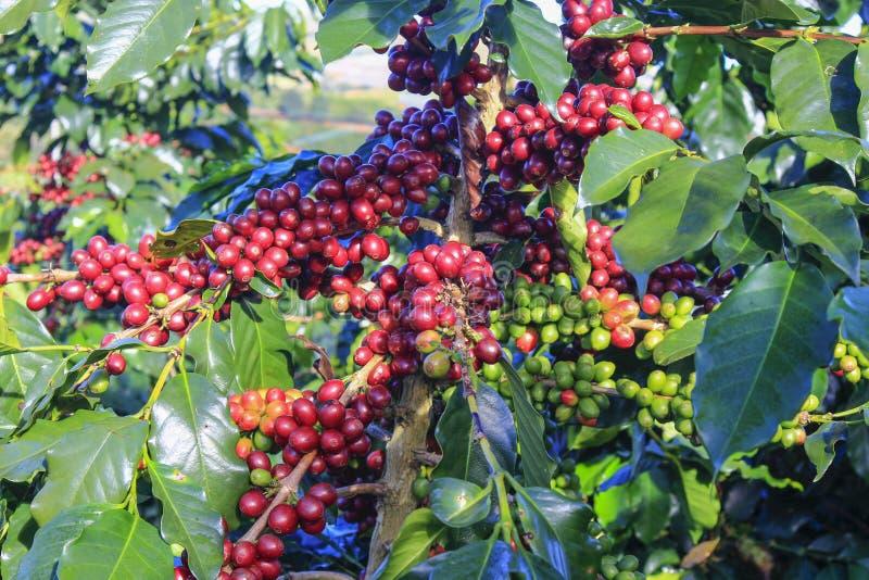 Φασόλι καφέ στο δέντρο καφέ στοκ εικόνα με δικαίωμα ελεύθερης χρήσης