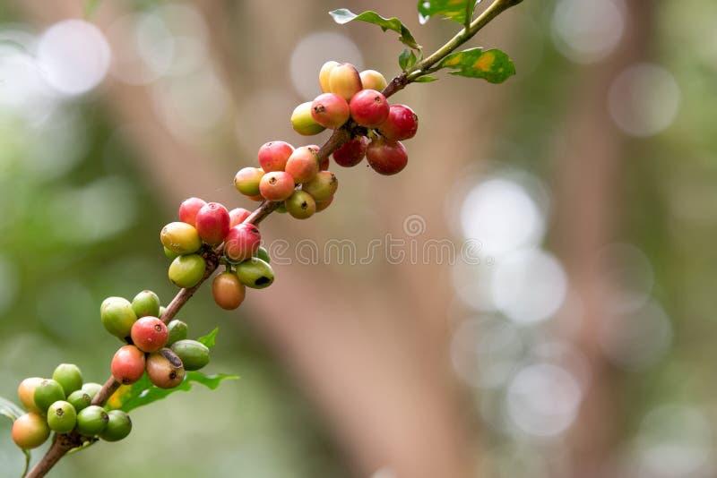 Φασόλι καφέ στο δέντρο καφέ στοκ εικόνα