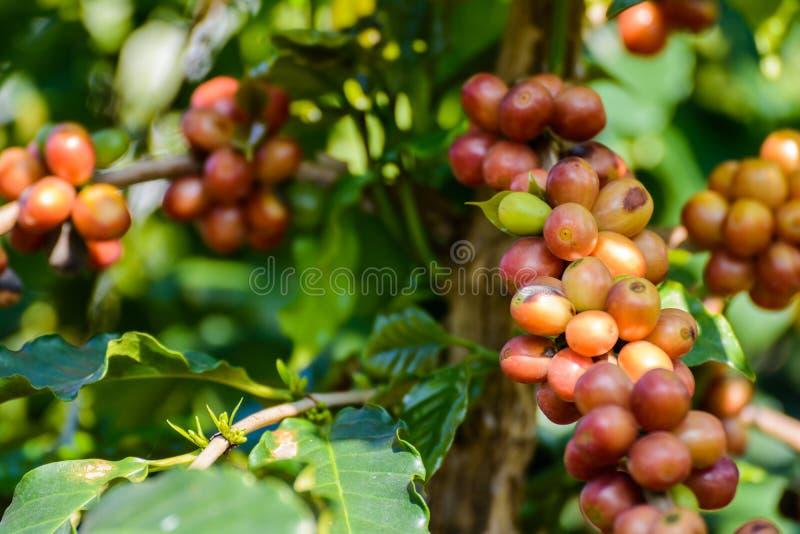 Φασόλια καφέ στο δέντρο στο αγρόκτημα στοκ εικόνες με δικαίωμα ελεύθερης χρήσης