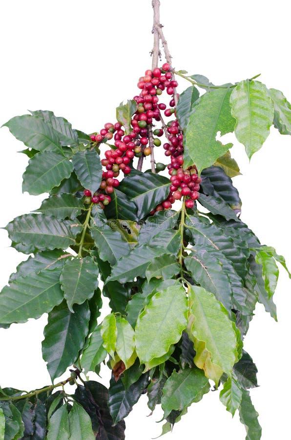 Φασόλια καφέ στο δέντρο στοκ φωτογραφίες